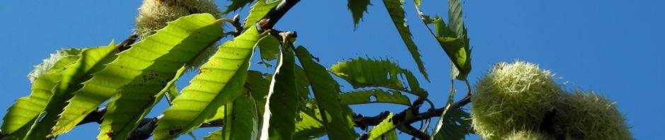 esskastanie-frucht-braun-stachelig-castanea-sativa