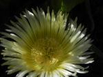 Essbare Mittagsblume Bluete gelb Carpobrotus edulis 03