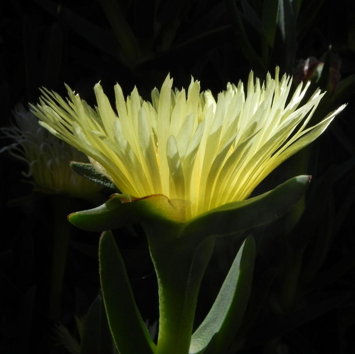 Essbare Mittagsblume Bluete gelb Carpobrotus edulis