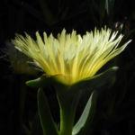 Essbare Mittagsblume Bluete gelb Carpobrotus edulis 04