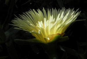 Essbare Mittagsblume Bluete gelb Carpobrotus edulis 05