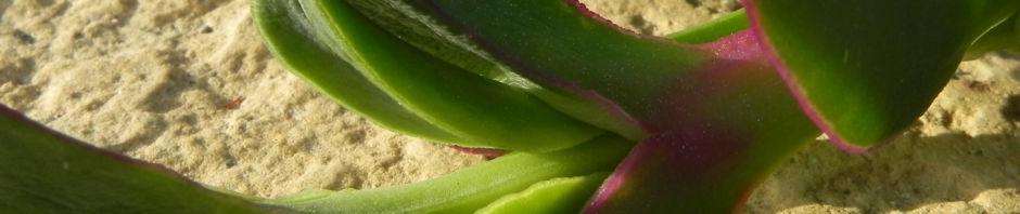 essbare-mittagsblume-bluete-pink-blatt-gruen-carpobrotus-edulis