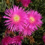 Essbare Mittagsblume Bluete pink Blatt gruen Carpobrotus edulis 08