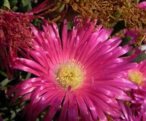 Essbare Mittagsblume Bluete pink Blatt gruen Carpobrotus edulis 10