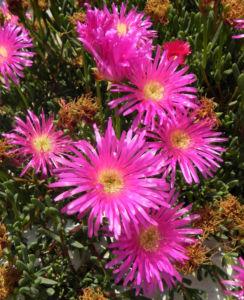 Essbare Mittagsblume Bluete pink Blatt gruen Carpobrotus edulis 12