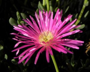 Bild: Essbare Mittagsblume Bluete pink Blatt gruen Carpobrotus edulis