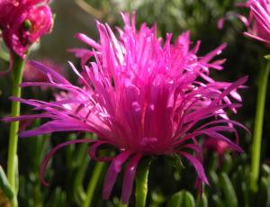 Essbare Mittagsblume Bluete pink Blatt gruen Carpobrotus edulis 16