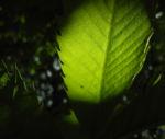 Esskastanie Blatt gruen Castanea sativa 07