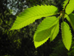 Bild: Esskastanie Rinde grau braun Blatt grün Castanea sativa