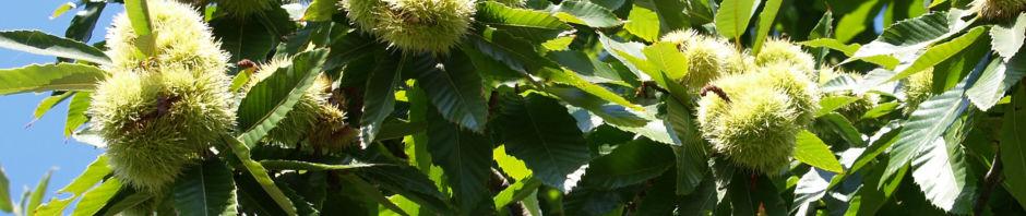 esskastanie-marone-braun-castanea-sativa