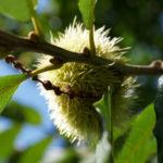 Esskastanie Marone braun Castanea sativa 19