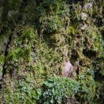 Esskastanie Rinde grau braun Castanea sativa 03