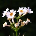 Etagen Primel Bluete weiss Primula japonica 01
