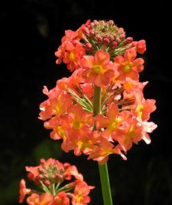 Etagenprimel Bluete orange rot Primula beesiana 03