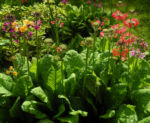 Bild: Etagenprimel Blüte orange rot Primula beesiana