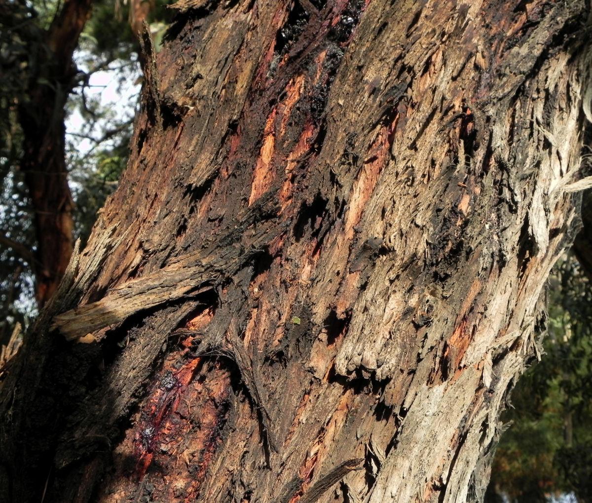 Eukalyptus Baum Rinde braun Eucalyptus