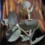 Eukalyptus Blatt silber Eucalyptus crucis 04