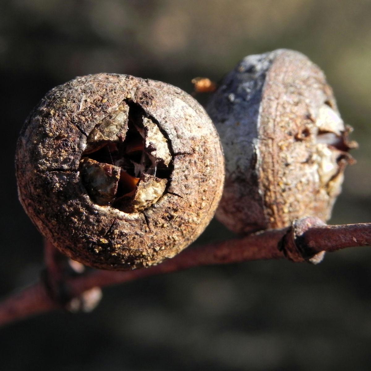 Eukalyptus Frucht braun Eucalyptus crucis