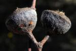Eukalyptus Frucht braun Eucalyptus crucis 08