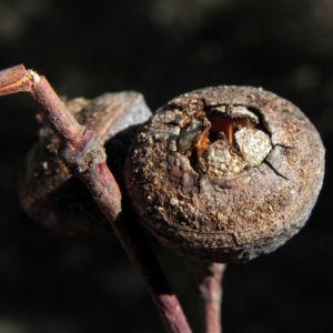Bild: Eukalyptus Frucht braun Eucalyptus crucis