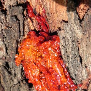 Eukalyptus Rinde Harz rot Eucalyptus 09 1