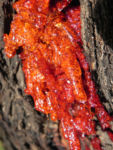 Eukalyptus Rinde Harz rot Eucalyptus 10 1
