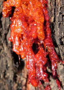 Eukalyptus Rinde Harz rot Eucalyptus 11 1