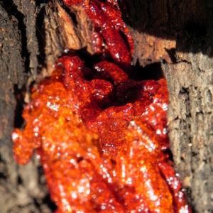 Eukalyptus Rinde Harz rot Eucalyptus 13 1