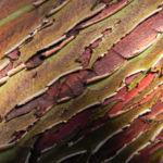 Bild: Silver Mallee Eukalyptus Rinde Frucht rotbraun Blatt silber Eucalyptus crucis