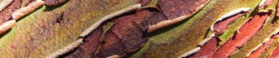 silver-mallee-eukalyptus-rinde-frucht-rotbraun-blatt-silber-eucalyptus-crucis