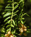 Europaeische Eibe Bluete gelblich Taxus baccata 02
