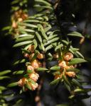 Europaeische Eibe Bluete gelblich Taxus baccata 05