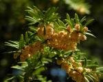 Europaeische Eibe Bluete gelblich Taxus baccata 09