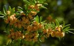 Europaeische Eibe Bluete gelblich Taxus baccata 10