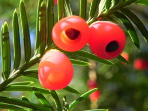 Europaeische Eibe Frucht rot Taxus baccata 02