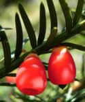 Europaeische Eibe Frucht rot Taxus baccata 05