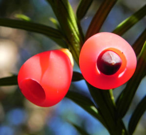 Europaeische Eibe Frucht rot Taxus baccata 08