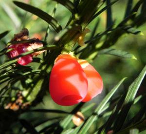 Europaeische Eibe Frucht rot Taxus baccata 10