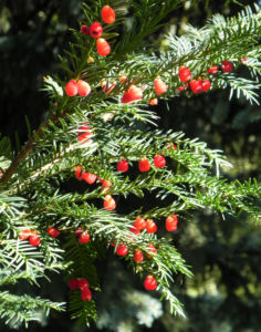 Europaeische Eibe Frucht rot Taxus baccata 12