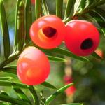 Bild: Europäische Eibe Frucht rot Taxus baccata