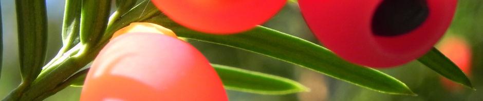 europaeische-eibe-frucht-rot-taxus-baccata