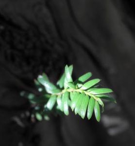 Europaeische Eibe Nadeln gruen Taxus baccata 17