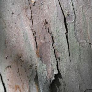 Europaeische Eibe Rinde grau braun Taxus baccata 19