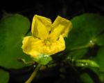 Europaeische Seekanne Bluete gelb Nymphoides peltata 01