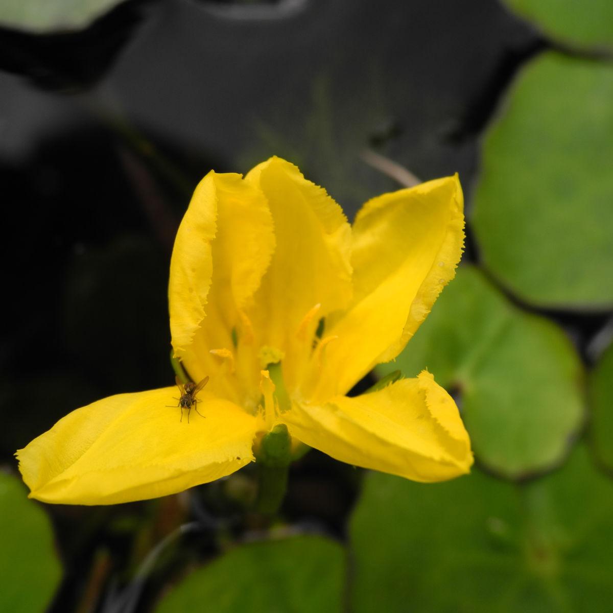 Europaeische Seekanne Bluete gelb Nymphoides peltata