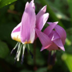 Europaeischer Hundszahn Bluete lila Erythronium dens canis 04