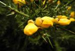 Europaeischer Stechginster Bluete gelb Ulex europaeus 03