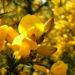 Zurück zum kompletten Bilderset Stechginster Blüte gelb Ulex europaeus
