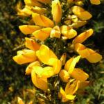 Europaeischer Stechginster Bluete gelb Ulex europaeus 07