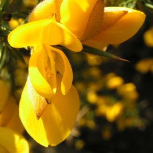 Europaeischer Stechginster Bluete gelb Ulex europaeus 10